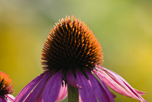 Echinacea is a powerful immune-boosting herb